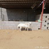 خروف ثني للبيع