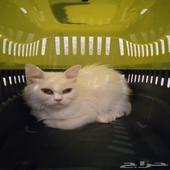 قطة شيرازي جميلة 400 ريال