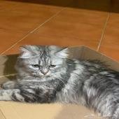 قطو شيرازي