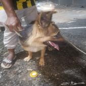 كلب جيرمان شيبارد من فصيلة الكينج