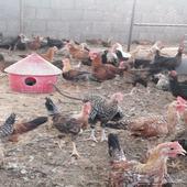 دجاج بلدي عمر 3 شهور