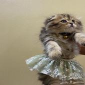 قطط هجين سكتش شيرازي