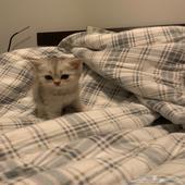 قطه كتن سكوتش فولد مهجن