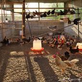 دجاج بلدي بجميع الانواع