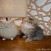 كيتن شيرازي قطط صغيره