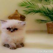 قطط شيرازية وهمالايا للبيع