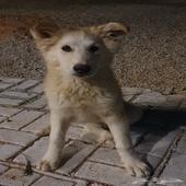 كلب جرو جيرمن شيبرد وايت لون نادر