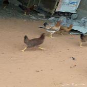 للبيع دجاج تركي