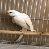 ذكر بادجي طيور الحب