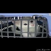 قط شيرازي جميل لعوب للبيع