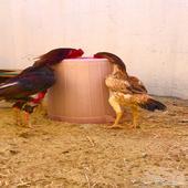 دجاج بكستاني سندي اصلي
