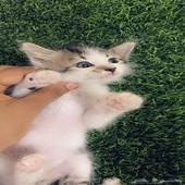 لبيع قط صغير عمره شهر ونص شيرازي