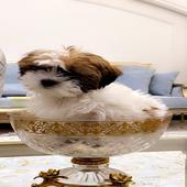 كلب شيتزو عمر شهرين ذكر التراصل عبر الرسائل