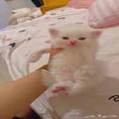 قطط صغيره للبيع شيرازي مهجن