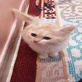 قطه صغيره شهرين ونص واليفه مره