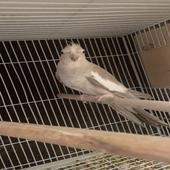 طيور كروان هولندي