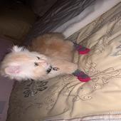 قطة هاف بيكي