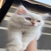 قط شيرازي ابيض للبيع
