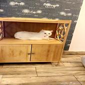قطة شيرازي ابيض للبيع