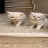 قطط مهجن امريكي شيرازي العمر شهر