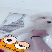 كلب مالتيز العمر شهرين و 13 يوم