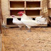 للبيع دجاج فيومي الامنيوم