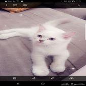 للتبني قطة شيرازي