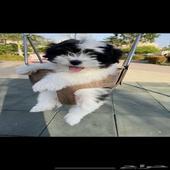 كلب شيتزو للبيع