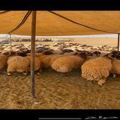 جذعان كلش خروف اعمار