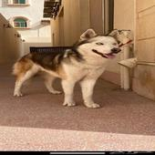 كلب هاسكي ضايع من الظهر حي النهضة جدة