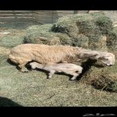جامع صفرا عليها خروف