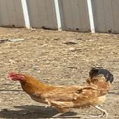 دجاج بلدي العدد 9 وديك مهجن باكستاني