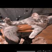 قطه شيرازي للبيع لون رمادي العمر 8شهور
