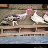 للبيع ديك و دجاجتين رومي