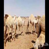 حشو قصب مفاريد طيبه شحم فل