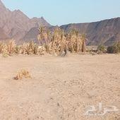أرض زراعيه في شجوى شمال المدينه 100كيلو