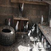 دجاج فيوم للبيع