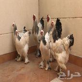 دجاج براهما اصول توب في الجبيل.