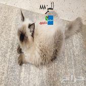 قطه حامل همالايا (تم البيع)