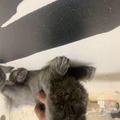 قطط عرض هملاياو بك فيس للبيع
