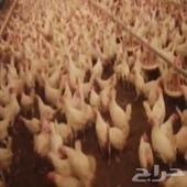 دجاج بياض في تهامة الباحة