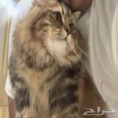 قطط للبيع شيرازي مكه المكرمه
