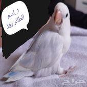 فرخ طائر روز عمره 50يوم