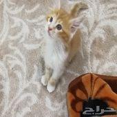 قطة شيرازي لعوبة