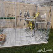 طيور الحب استرالي