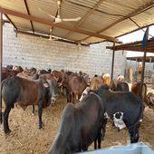 بقر صومالي بربر - سلالة اللحوم