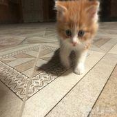 قطة جميلة صغيرة للبيع
