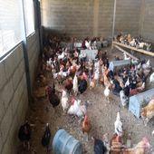 ديوك ودجاج للبيع
