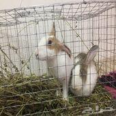 جوز  أرانب مع الشبك