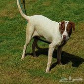 للبيع كلب بيتبول رد نوز